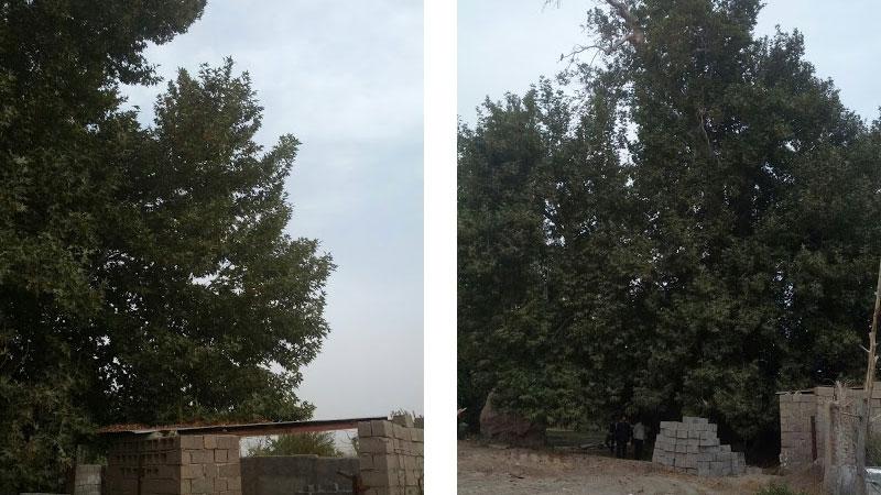 درخت چنار کنسال در روستای کردیان باخرز